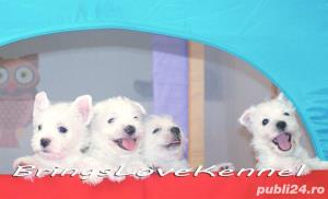 Pui Westie cu pedigree tip A - imagine 2
