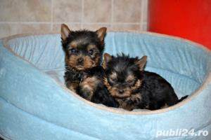 yorkshire terrier cu pedigree - imagine 2