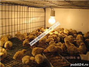 Oua de prepelita pentru incubat(Japoneze) - imagine 5