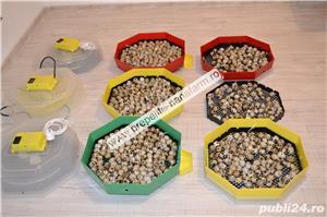Oua de prepelita pentru incubat(Japoneze) - imagine 2