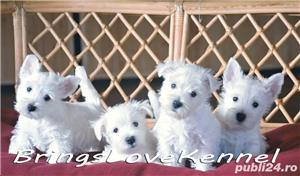 Pui Westie cu pedigree tip A - imagine 1