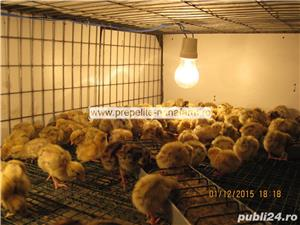 Oua de prepelita pentru incubat manciuria - imagine 7