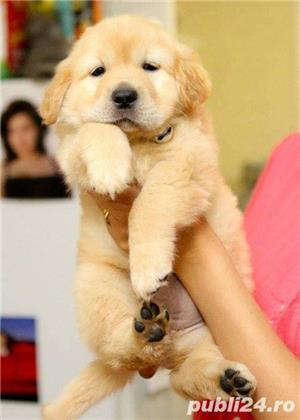 Golden Retriever, catei la 7 saptamani - imagine 2
