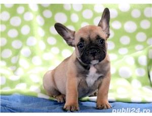 catelusi bulldog francez de 8 saptamani - imagine 2