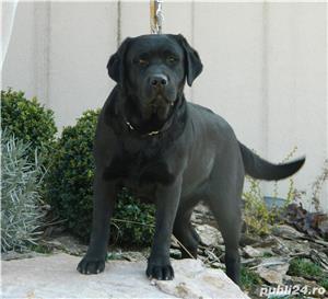Pui labrador cu pedigree Tip A - imagine 9