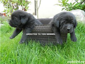Pui labrador cu pedigree Tip A - imagine 4