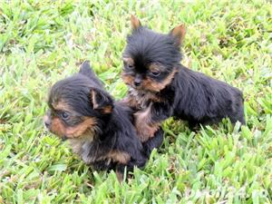 Yorkshire Terrier de Top, talie Teacup pentru Pretentiosi - imagine 4