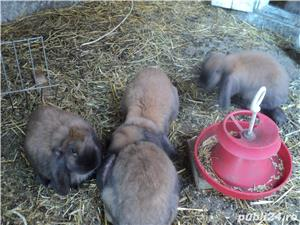 iepuri de rasa - imagine 3