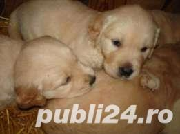 golden retriever de vanzare - imagine 4