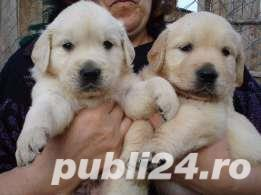 golden retriever de vanzare - imagine 2