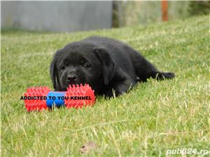 catei labrador retriever cu pedigree tipA- calitate de show - imagine 3