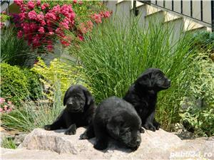 Pui labrador cu pedigree Tip A - imagine 6