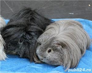 porcusori de guinea rasa pura - imagine 1
