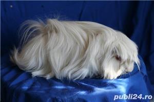 porcusori de guinea rasa pura - imagine 2