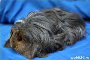 porcusori de guinea rasa pura - imagine 3