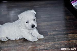 Pui westie cu pedigreeA - imagine 7