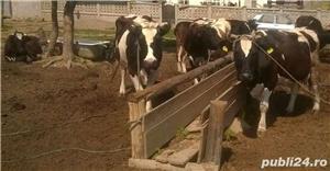 De vanzare: junci, vaci, tauri, vitei  - imagine 1