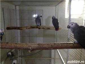 Vand pui papagali Jako si ara  - imagine 3