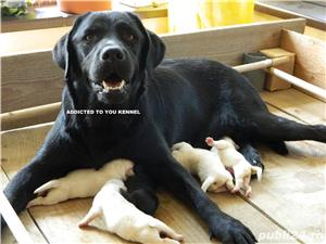 catei labrador retriever cu pedigree tipA- calitate de show - imagine 8