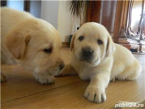 catei labrador cu pedigree tip A  - imagine 8