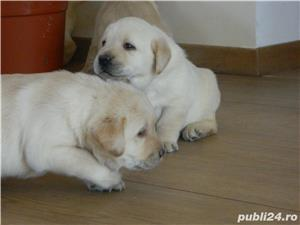 catei labrador cu pedigree tip A  - imagine 7