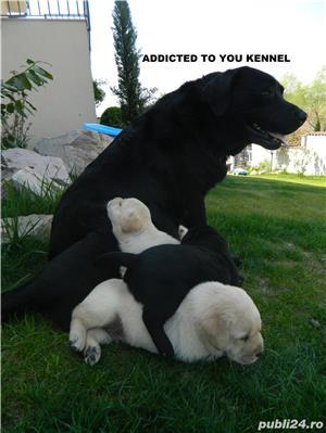 catei labrador cu pedigree tip A- calitate de show - imagine 6