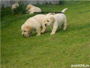 pui labrador cu pedigree tip A, calitate de show - imagine 6