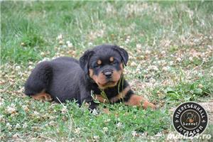 Pui Rottweiler cu pedigree - imagine 4