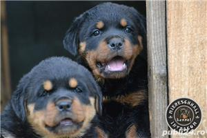 Pui Rottweiler cu pedigree - imagine 2