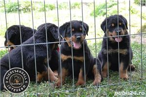 Pui Rottweiler cu pedigree - imagine 5