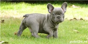 Pui Bulldog Francez gri,negri, bej- Rasa pura- Garantie- Livrare in orice oras - imagine 4