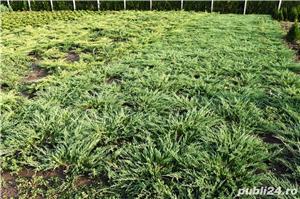 Vand ienupar(juniperus) cu diametru intre 60 si 120 cm, diverse soiuri: tarator, stricta, sky roket  - imagine 1