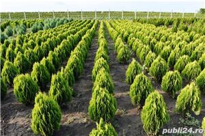 Vand  tuia (thuja) toate  varietatile:   tuia smaragd,  tuia aurea,  tuia globosa,  tuia orientalis - imagine 1