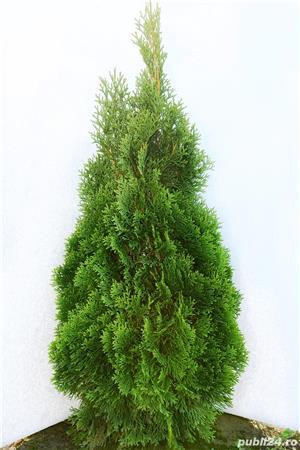 Vand  tuia (thuja) toate  varietatile:   tuia smaragd,  tuia aurea,  tuia globosa,  tuia orientalis - imagine 3