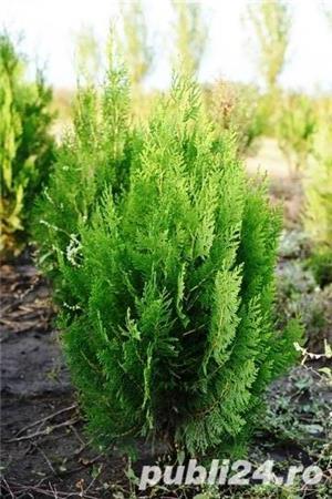 Vand  tuia (thuja) toate  varietatile:   tuia smaragd,  tuia aurea,  tuia globosa,  tuia orientalis - imagine 4