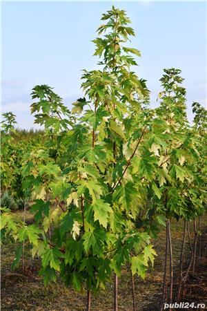 Vand  arbori  cu inaltimea intre  2-3 m  direct de la producator - imagine 1