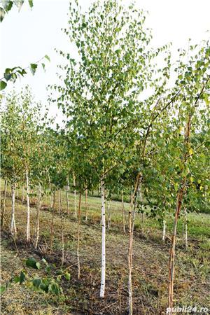 Vand  arbori  cu inaltimea intre  2-3 m  direct de la producator - imagine 3