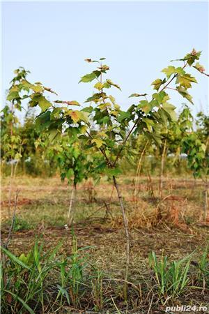 Vand  arbori  cu inaltimea intre  2-3 m  direct de la producator - imagine 4