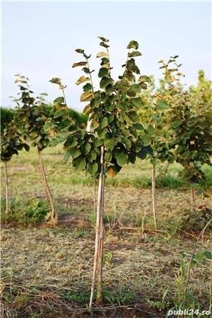 Vand  arbori  cu inaltimea intre  2-3 m  direct de la producator - imagine 5