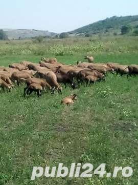 URGENT !!! Vand turma oi de camerun 100 bucati - imagine 2