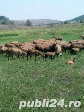 URGENT !!! Vand turma oi de camerun 100 bucati - imagine 4