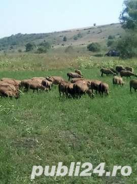 URGENT !!! Vand turma oi de camerun 100 bucati - imagine 6