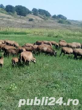 URGENT !!! Vand turma oi de camerun 100 bucati - imagine 3