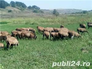 URGENT !!! Vand turma oi de camerun 100 bucati - imagine 8