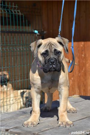 Pui Bullmastiff - imagine 1