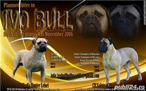 Pui Bullmastiff - imagine 5