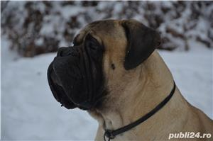 Mascul Bullmastiff - imagine 1