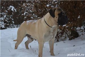 Mascul Bullmastiff - imagine 3