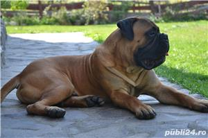 Bullmastiff Mascul - imagine 2