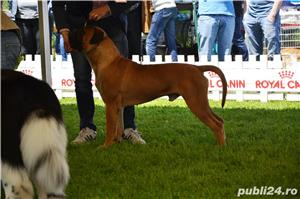 Bullmastiff Mascul - imagine 8